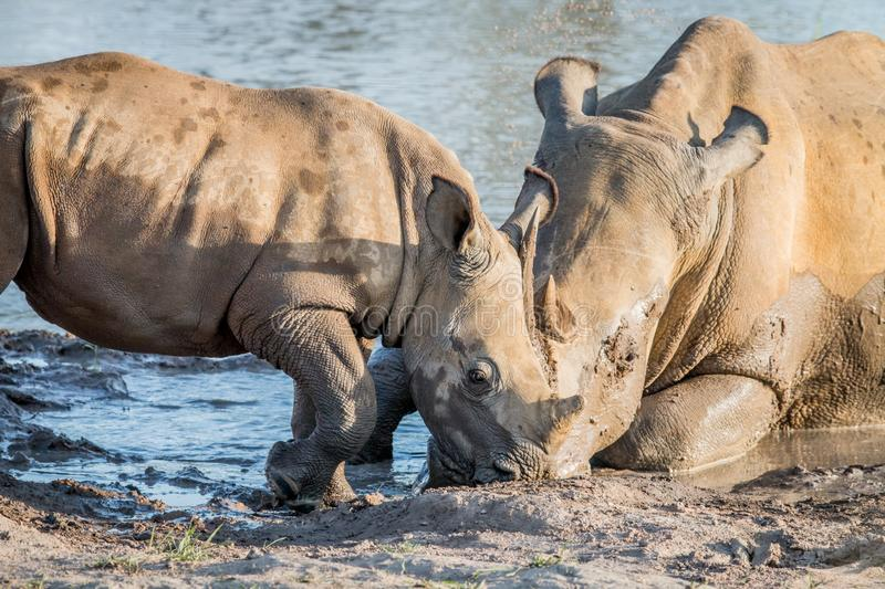 Mother White rhino with a baby calf. In the mud, South Africa stock image
