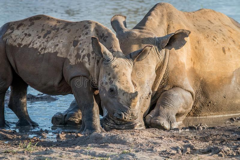 Mother White rhino with a baby calf. In the mud, South Africa royalty free stock image