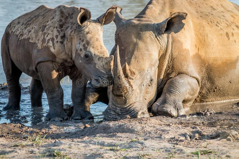 Mother White rhino with a baby calf. In the mud, South Africa stock photos