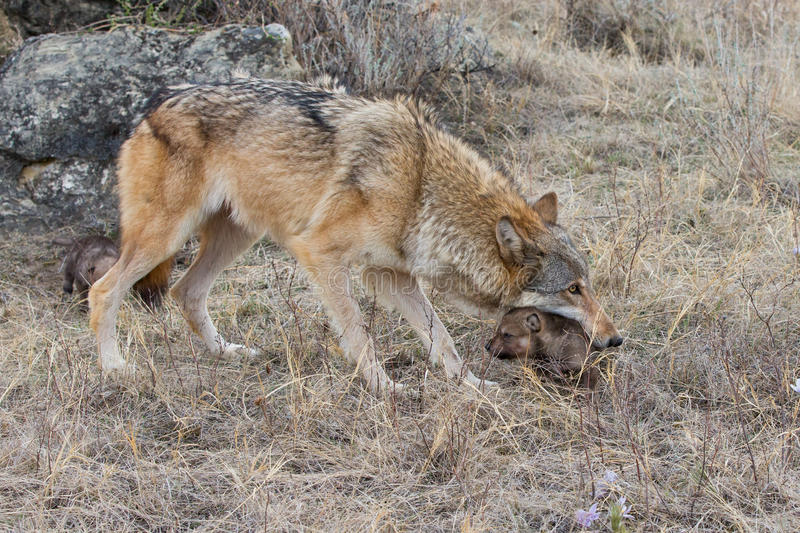 Mother wolf carrying her young royalty free stock images