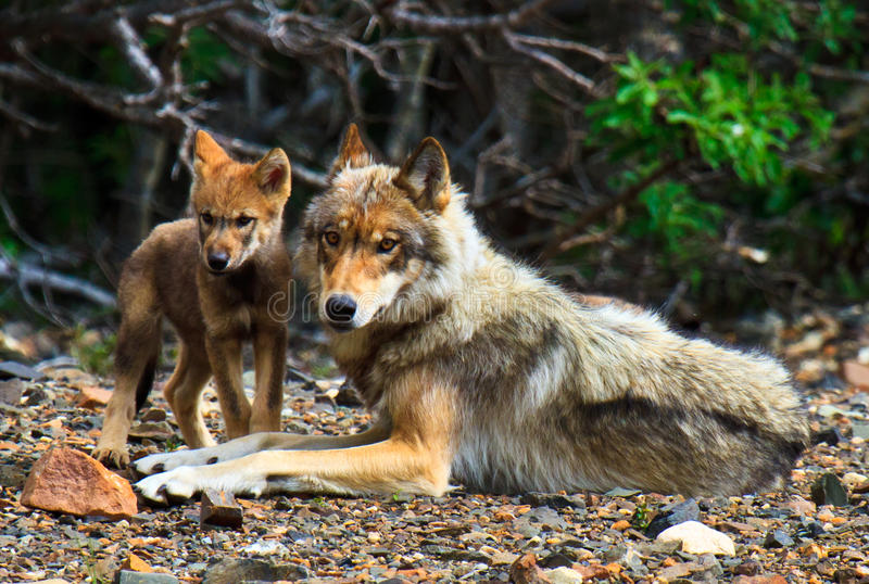 Download Mother Wolf & Her Cub, Denali National Park Stock Photography - Image: 20169082