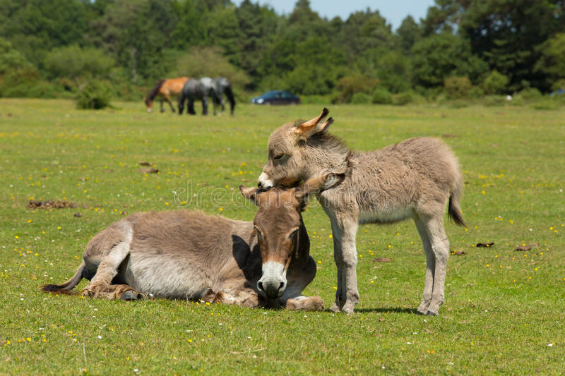 Mother and young baby donkey offspring showing love and affection in the New Forest Hampshire England UK. Mother and baby donkies showing love and affection in royalty free stock photography