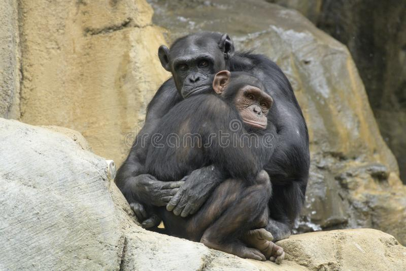 Mother and young chimpanzee in an embrace. Mother and young chimpanzee tightly embarrassing on a rock ledge royalty free stock photography