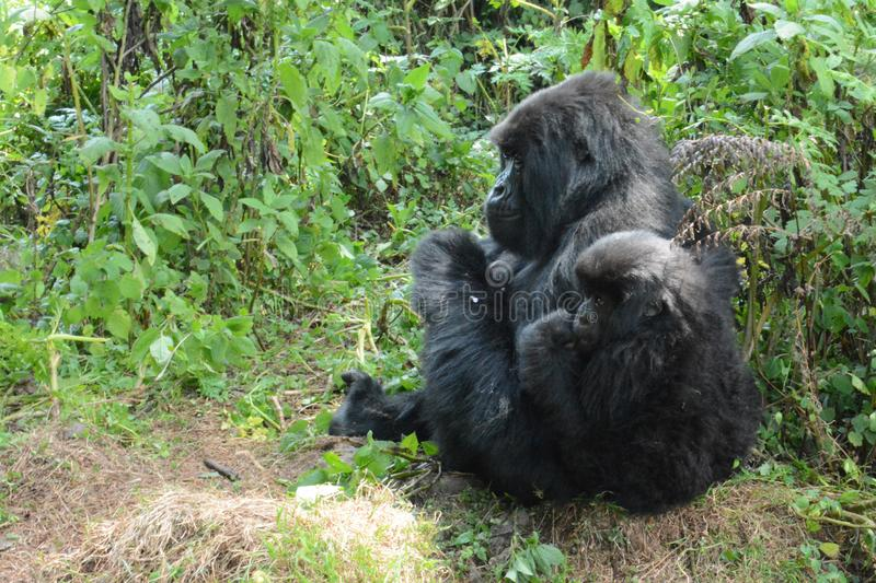 Mother and young mountain gorilla looking into the forest. Adult female and young mountain gorilla huddle together while looking into the forest in Volcanoes royalty free stock photos