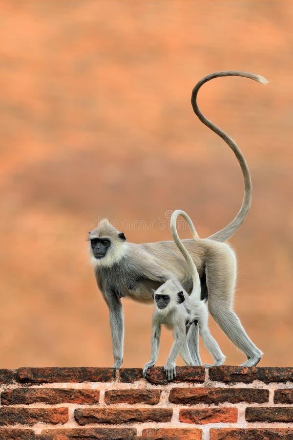 Mother and young running. Wildlife of Sri Lanka. Common Langur, Semnopithecus entellus, monkey on the orange brick building, natur stock image