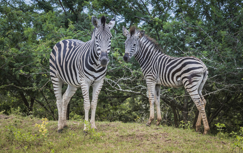 Mother and young zebras in south africa in the wild nature royalty free stock image