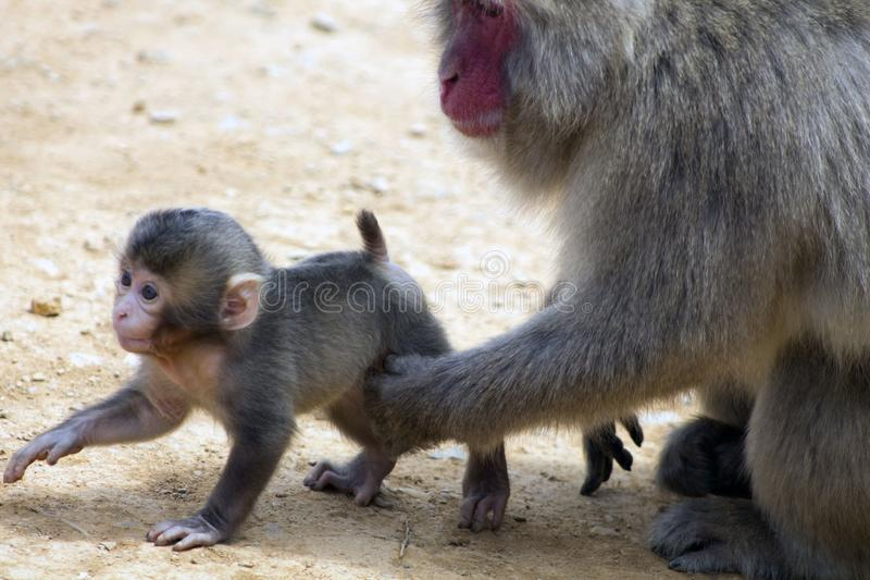 The motherhood of a japanese macaque royalty free stock image
