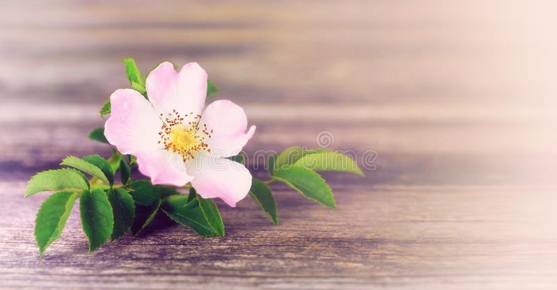 Mothers Day background with wild rose and copy space. Mothers Day background with single wild rose and copy space royalty free stock image
