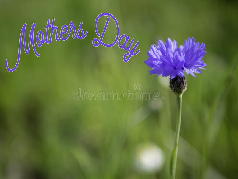 Mothers Day image with a blue corn flower. royalty free stock photo