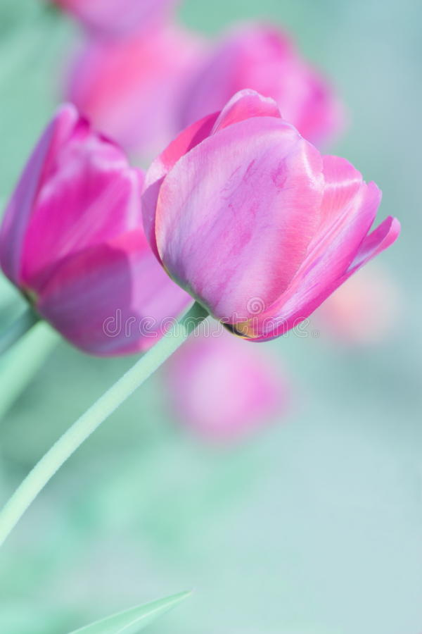 Mothers Day Tulip Card - Nature Stock Photos stock photo