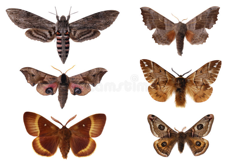 Download Moths stock image. Image of spotted, eyed, grey, fragile - 25228013
