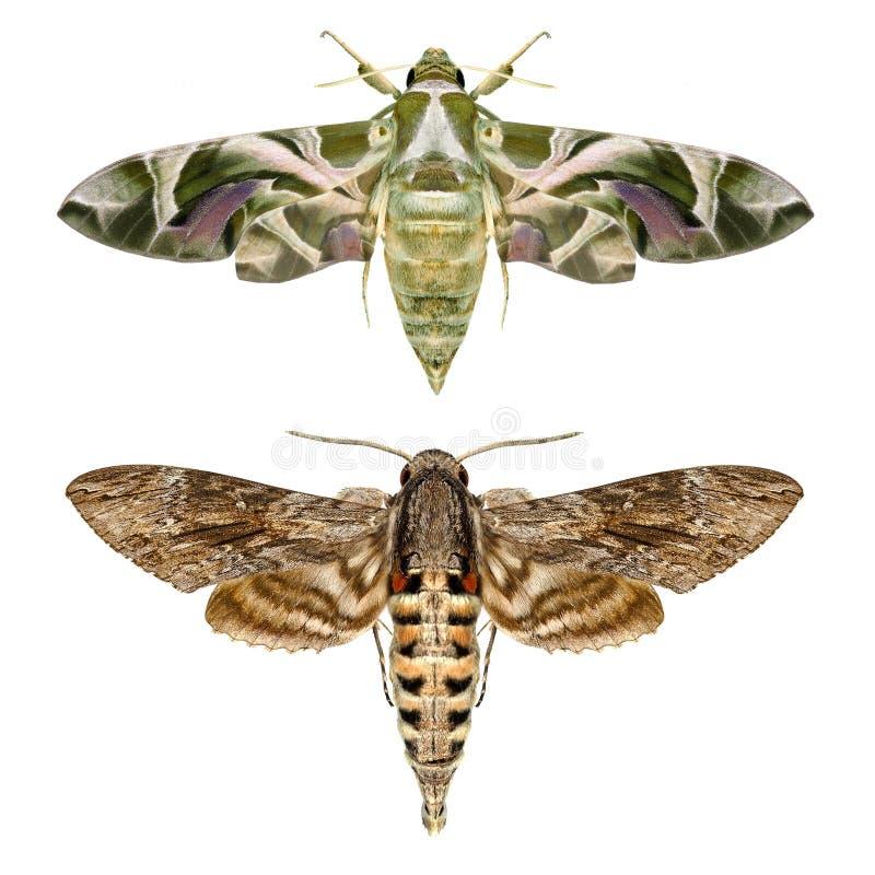 Moths royalty free stock photos