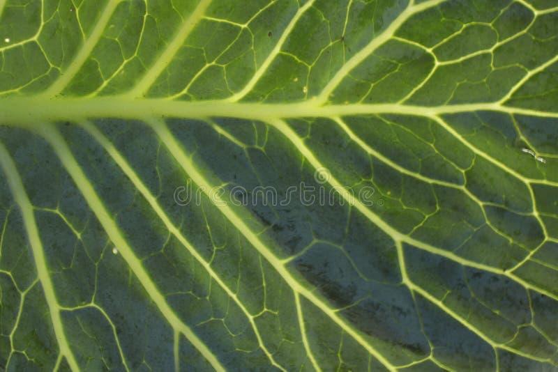 Motif de fibre de feuille de chou photo libre de droits
