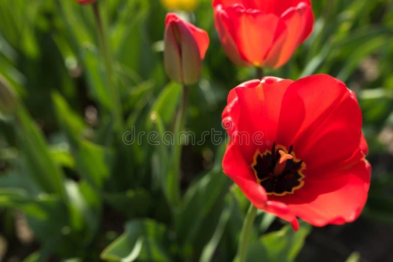 Motif de ressort avec les tulipes rouges photo stock