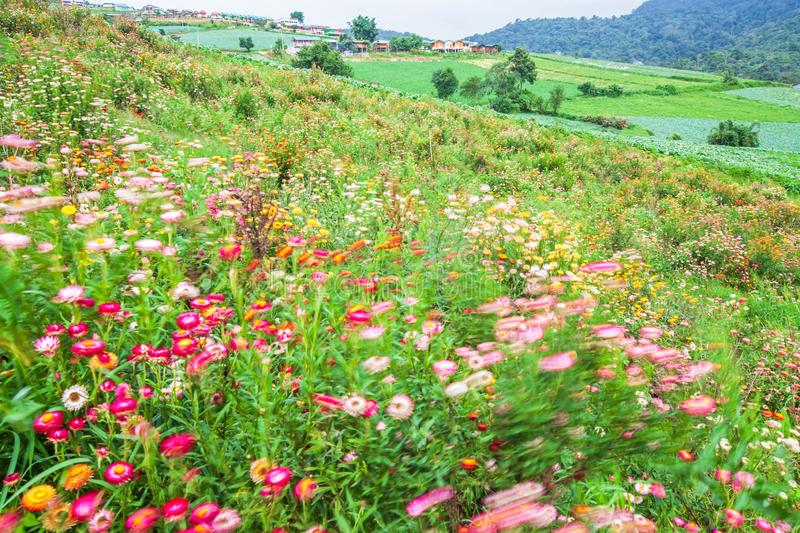 Motion blur, art of colorful springtime, blooming daisy in the valley, various colors of paper daisy, blurred green meadow and royalty free stock images