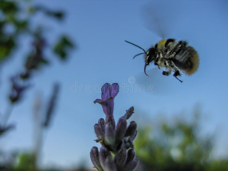 Motion blur of bumblebee in flight stock images