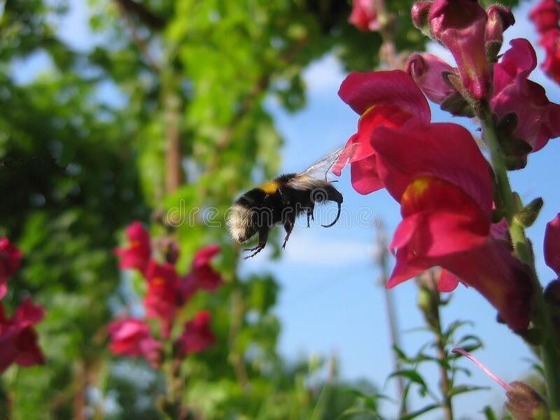 Motion blur of bumblebee in flight royalty free stock photo