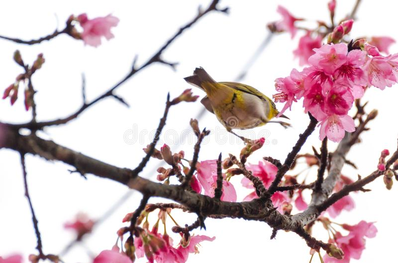 Motion blur of Japanese White-eye. Zosterops japonicus moving on tree branch for eating nectar from pink cherry blossom royalty free stock photos