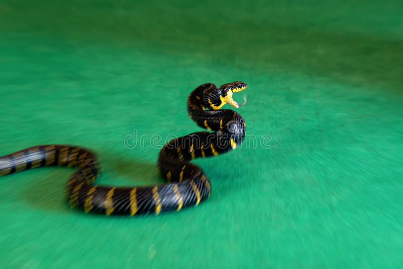 Motion blur mangrove snake in attack royalty free stock photo