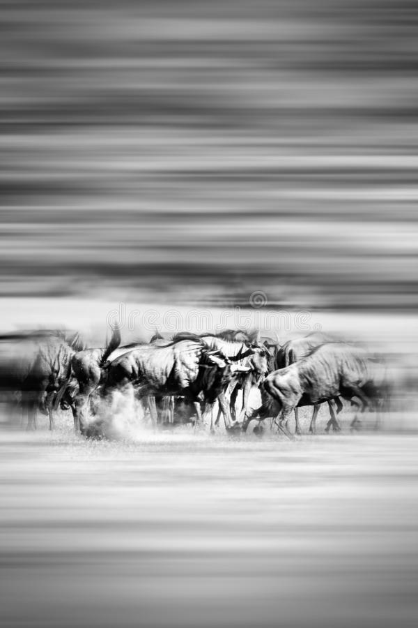 Motion blur of running wildebeest stock images
