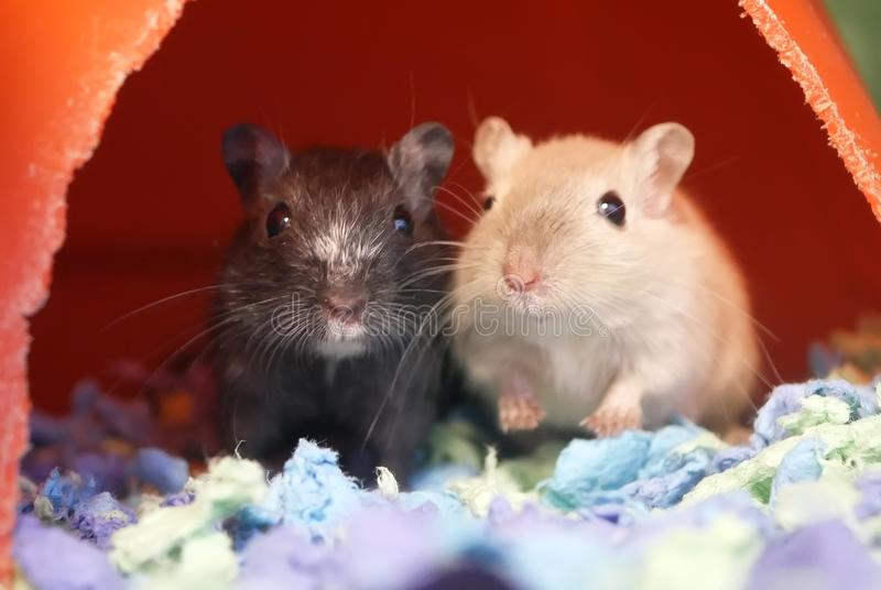Motion of funny guinea pigs with cute poses stock image