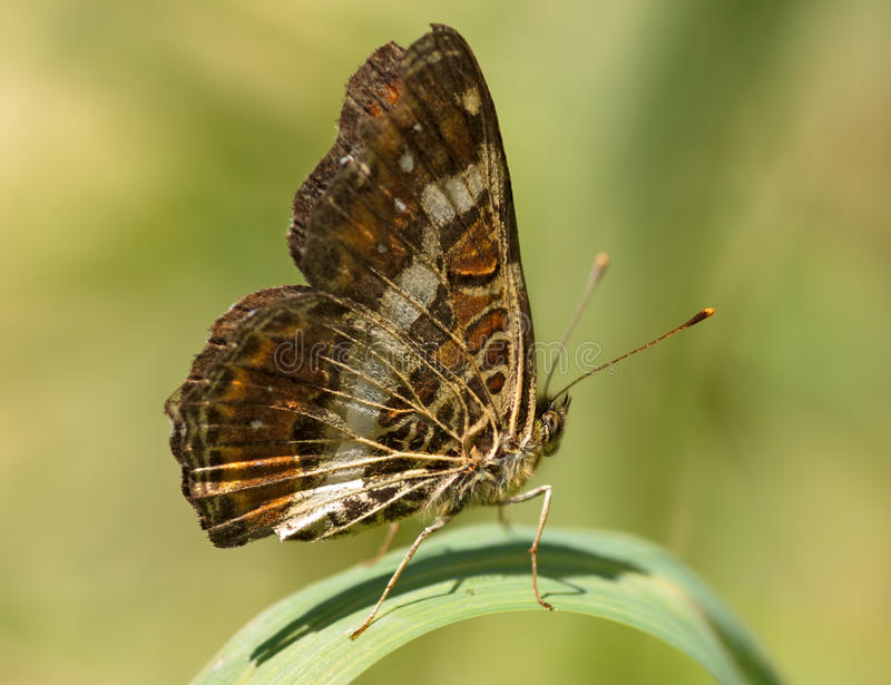 The motley brown butterfly royalty free stock photo