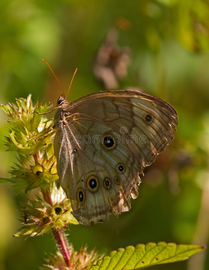 The motley brown butterfly royalty free stock photos