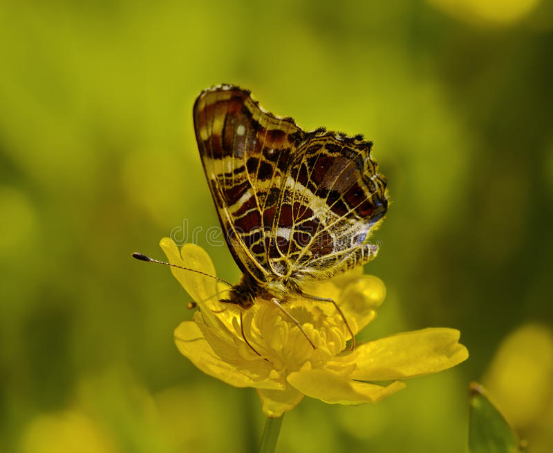 The motley butterfly on a yellow flower royalty free stock image