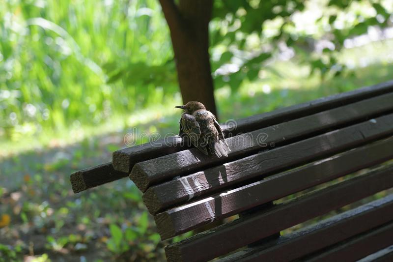 The motley starling on the bench. The ordinary starling Sturnus Vulgaris sits on a wooden bench stock photo