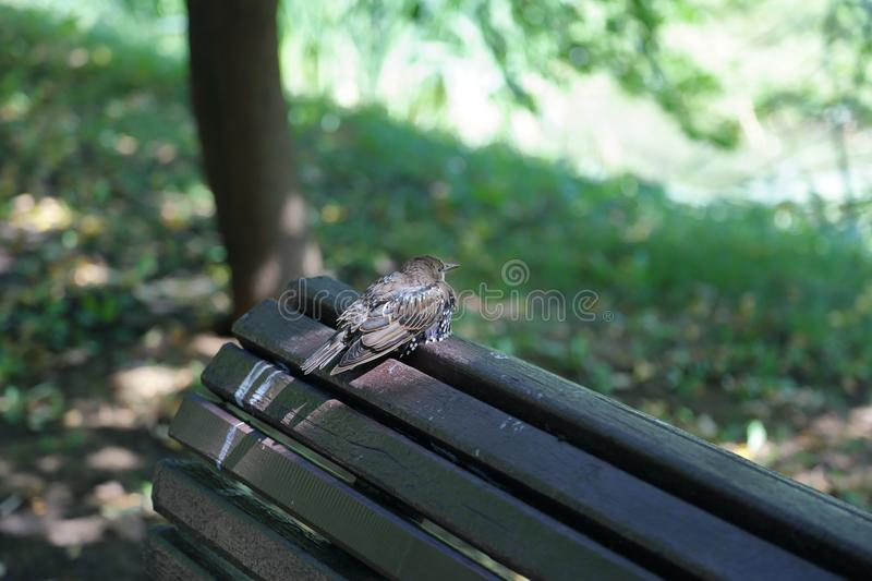 The motley starling on the bench. The ordinary starling Sturnus Vulgaris sits on a wooden bench stock photos