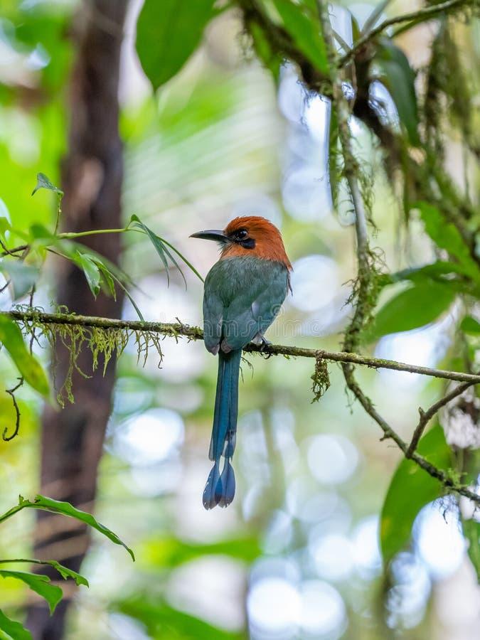 Motmot Large-affiché ( ; Électron platyrhynchum) ; en Costa Rica photographie stock