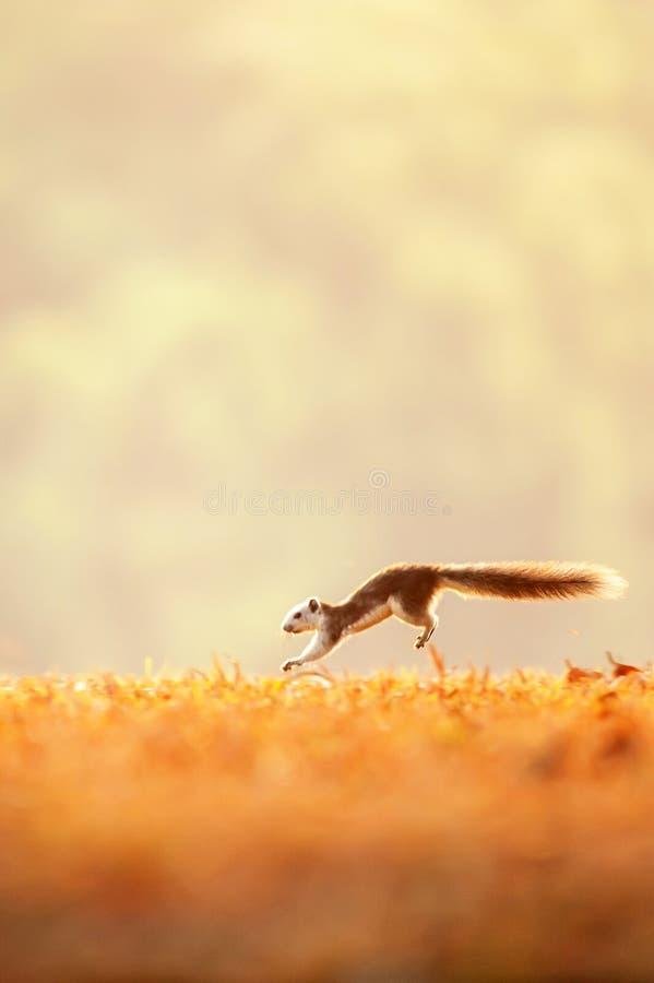 Moto di inverno, uno scoiattolo variabile che corre nei campi dorati, alba luminosa, ambiti di provenienza sempreverdi della sfuo immagine stock libera da diritti