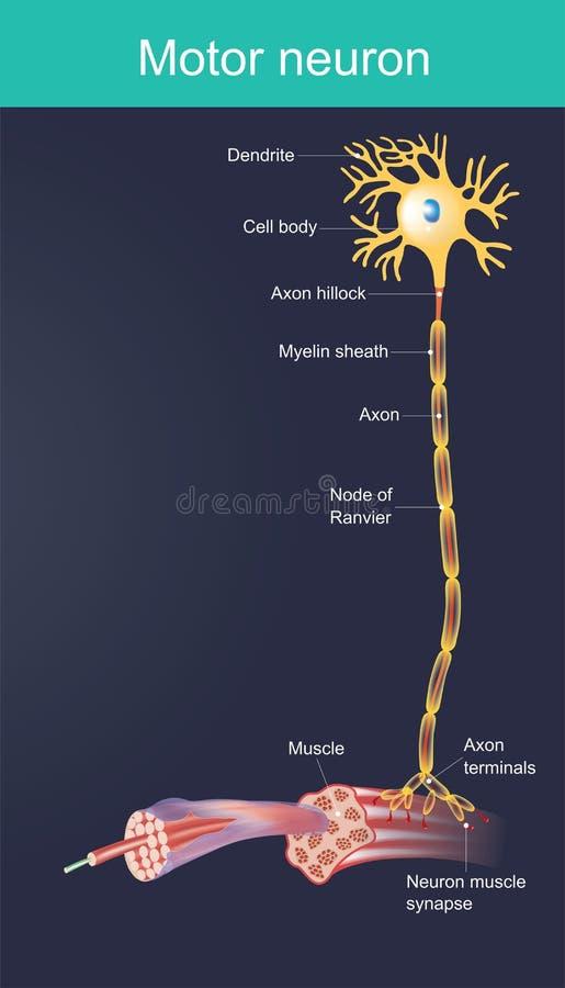 Motoneuron Anatomiezellenillustration vektor abbildung