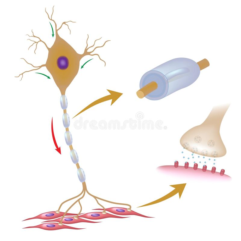 Motor neuron. With details of myelin and synapse, eps10 stock illustration