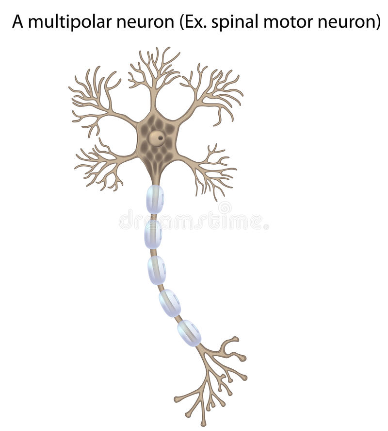 Diagram of a motor neuron unlabeled wiring circuit motor neuron detail and accurate non labeled vs stock vector rh dreamstime com nerve cell diagram unlabeled fill in a diagram of neuron ccuart Image collections