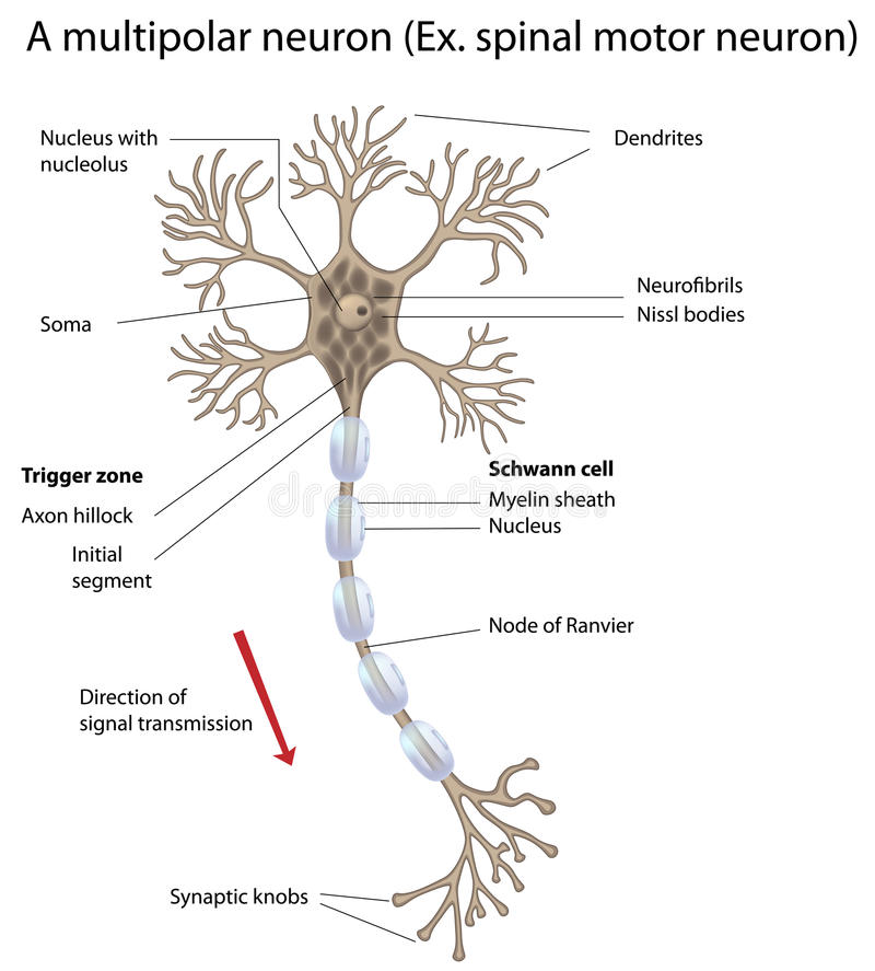 Download Motor Neuron, Detailed And Accurate, Labeled Vers. Stock Photography - Image: 18773082