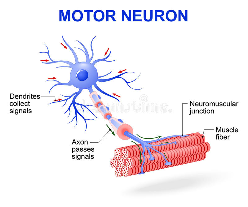 Motor neuron. Vector diagram. Structure of motor neuron. Vector diagram. Include dendrites, cell body with nucleus, axon, myelin sheath, nodes of Ranvier and stock illustration