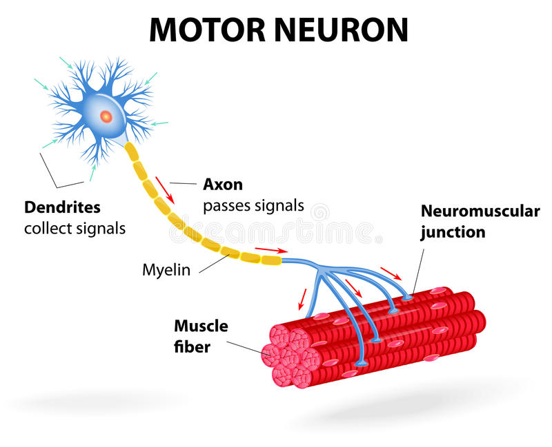 Motor neuron. Vector diagram stock illustration