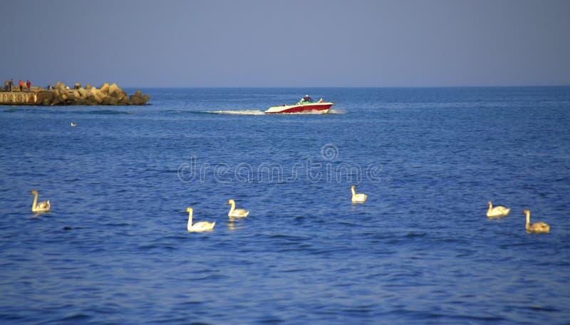 Motorboot en zwanen op overzees royalty-vrije stock foto's