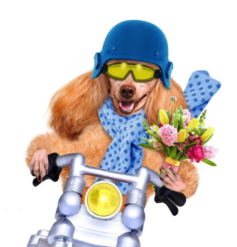 Motorcykelhund royaltyfria foton