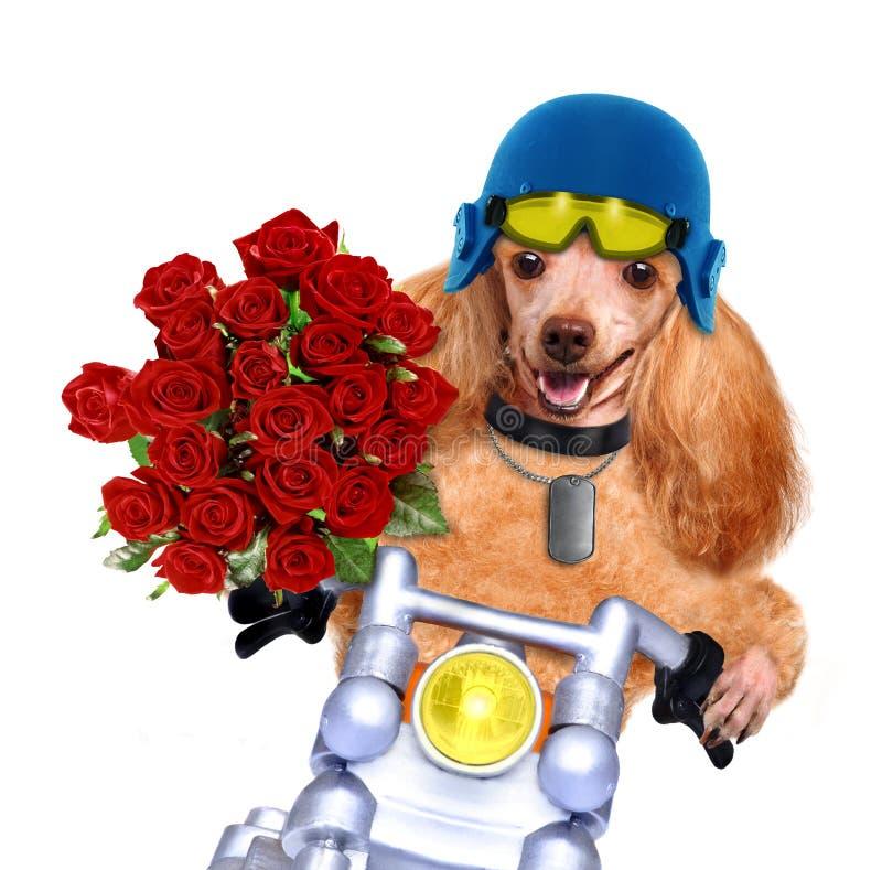 Motorcykelhund royaltyfri foto