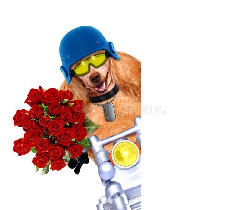 Motorcykelhund royaltyfria bilder