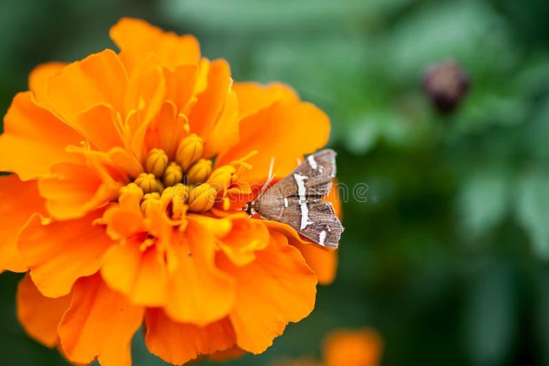 Motte auf einer dröhnenden Blume lizenzfreie stockbilder