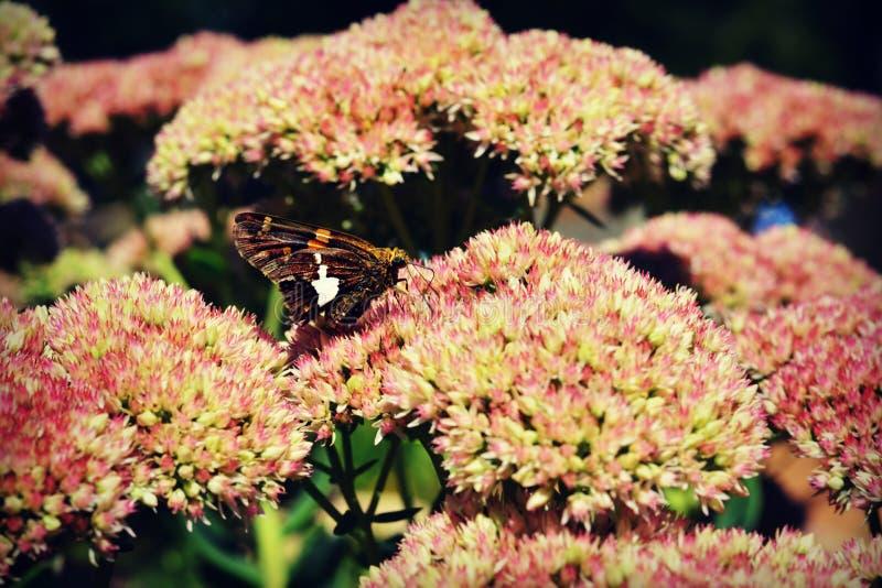 Motte auf Sedum-Blumen lizenzfreies stockfoto