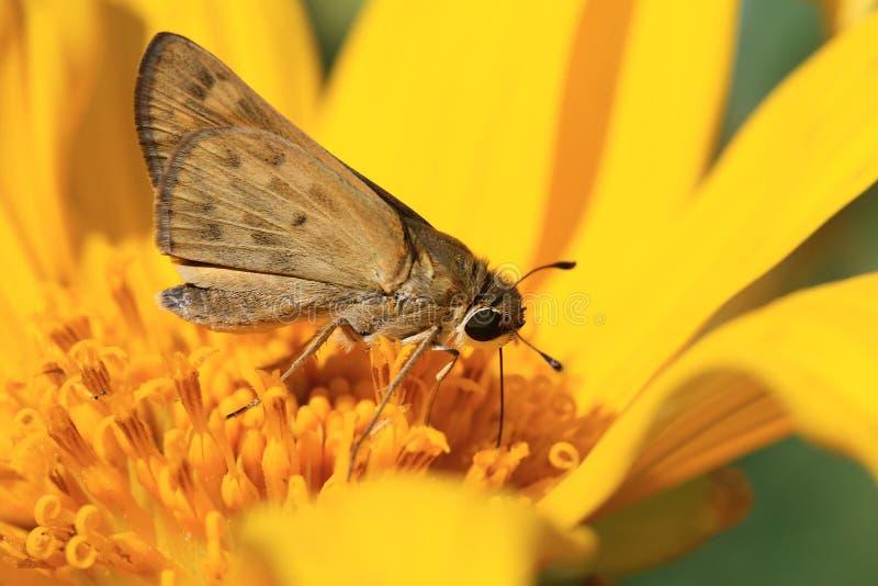 Motte auf Sonnenblume stockbilder