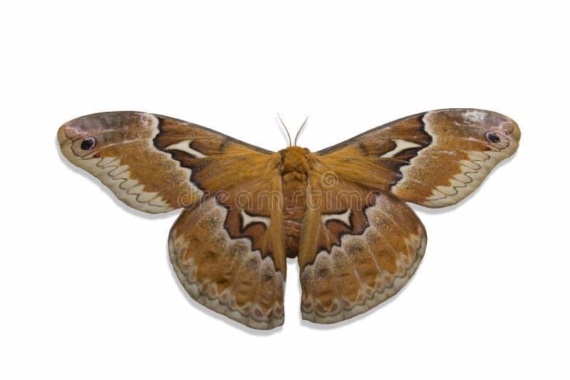 Motte auf Weiß lizenzfreies stockfoto