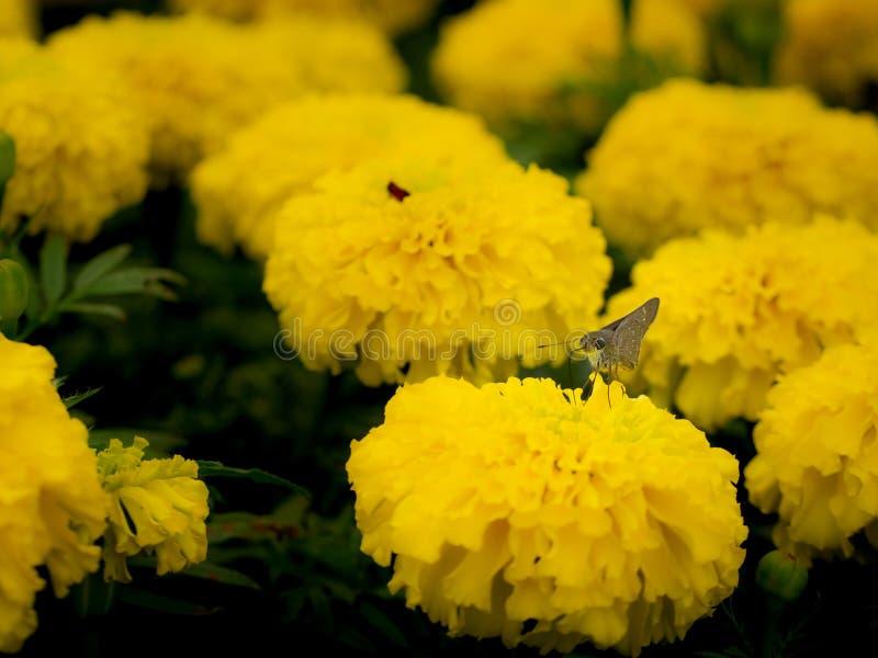 Motte gehockt auf der gelben Calendula-Blume stockfotos