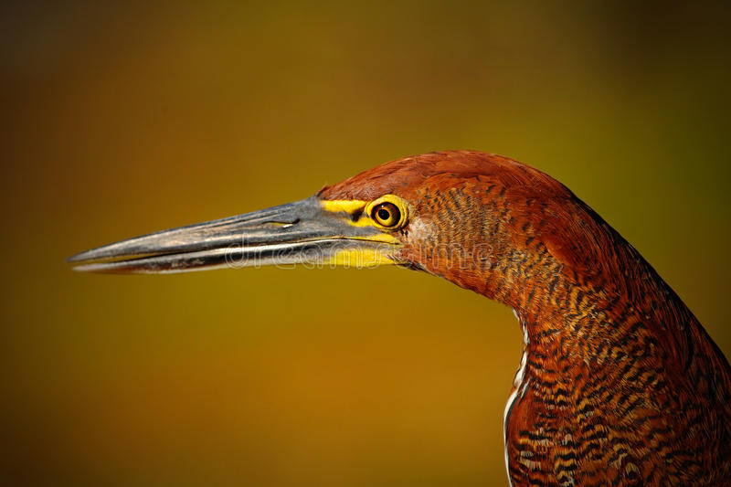 Motteled Rufescent Tiger-Heron, Tigrisoma lineatum, detail portrait of bird with long bill, in the nature habitat, Pantanal. Brazil, South America royalty free stock photo