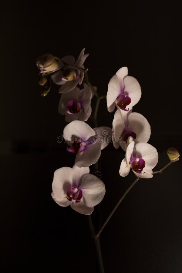 Motten 's nachts orchideeën stock foto