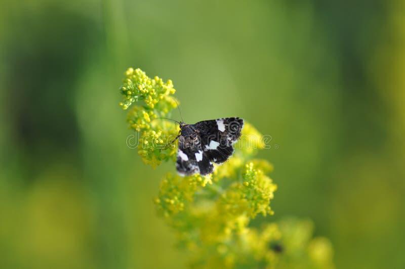 Mottenschmetterling auf einer Blume stockbilder